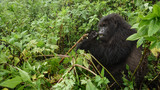 Mountain gorilla feeding in the forest