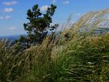herbes folles et pin des montagnes