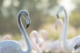 Pink flamingos with one in evidence and nice bokeh