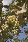 Unripe grape in the garden