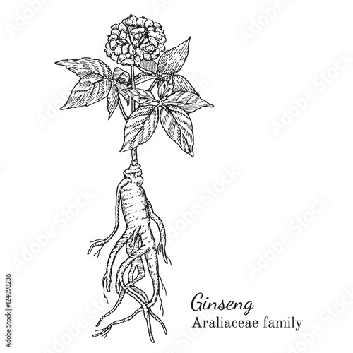 Ink ginseng herbal illustration. Hand drawn botanical sketch style. Absolutely vector. Good for using in packaging - tea, condinent, oil etc - and other applications