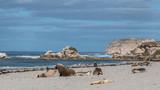 Sea Lion at Seal Bay, Kangaroo Island, Australia
