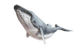 Fototapety Humpback whale on an isolated white background. 3d rendering