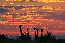 Giraffe Silhouette - faune Fond africain - Nature Coloré et Skies Majestic