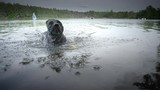 Slow motion, Black Labrador plays with ball in water