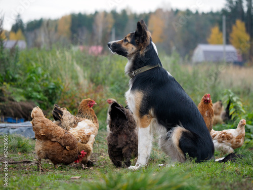 Poster Big dog guards the village chickens