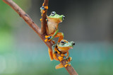 frogs, flying frog, two frog,