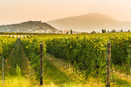 Bunches of ripe grapes before harvest.  © photomario1