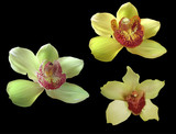 three yellow with red center orchid blooms on black