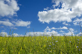 Blue sky with white clouds over the flowering meadow