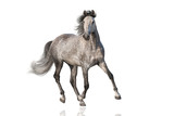 White horse run isolated on white background
