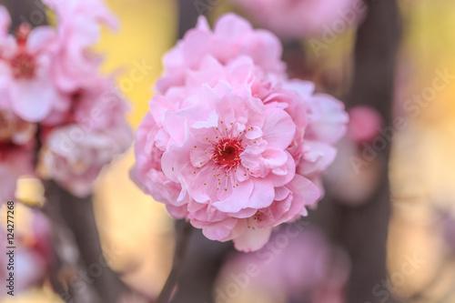Plagát, Obraz cherry blossom