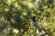 Singing bird in a tree