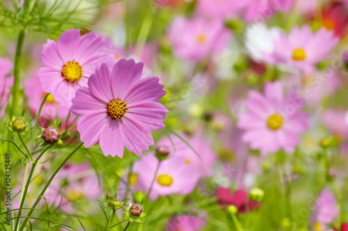 Fotobehang Purper ピンク色と赤色のコスモスの花