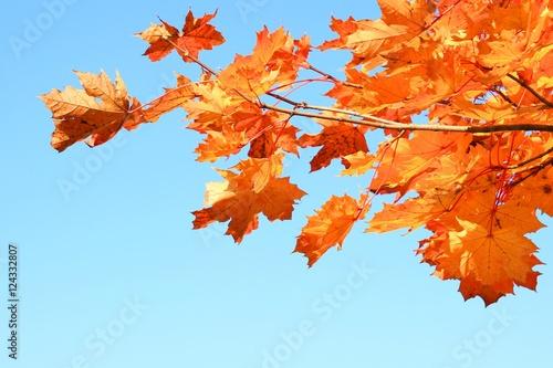 Foto op Canvas Herfst Fall leaves on maple tree
