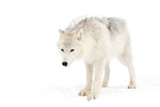 Arctic wolf walking in the snow in winter