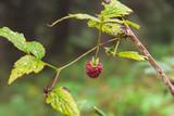 lampone (Rubus idaeus) - frutti di bosco