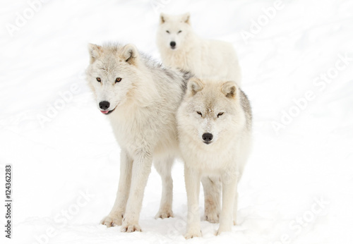 Foto op Plexiglas Antarctica 2 Three Arctic wolves in the snow