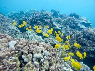 Two Step Riff auf Hawaii - schnorcheln
