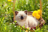 Little kitten lying in a basket on dandelion lawn, looking at camera