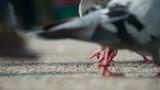 Grain for Urban Pigeons