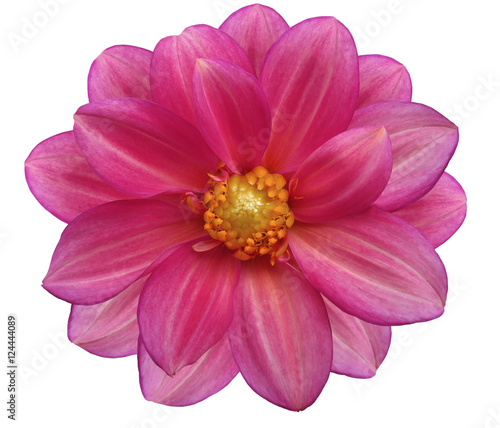 Tuinposter Roze pink flower garden, white isolated background with clipping path. Nature. Closeup no shadows. yellow center.
