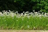 Fototapety piece of uncut field chamomile