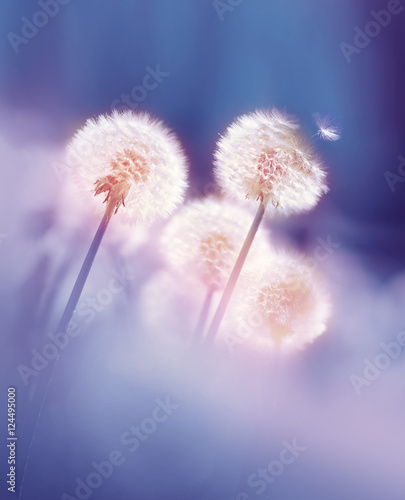 Dandelions in the morning sun on a blue background. Seeds of dandelion wind blows.