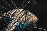 Fototapeta Do akwarium - Skrzydlica Ognista © Tomasz Wozny