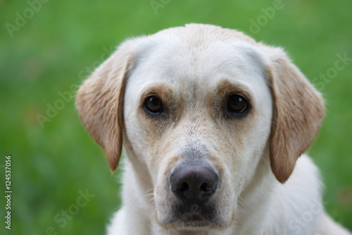 Poster Labrador Portrait