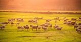 Flock of sheep at sunset - 124555014