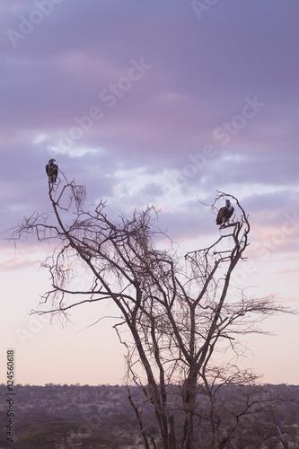 Fotobehang Purper vultures in tree in Samburu National Park, Kenya
