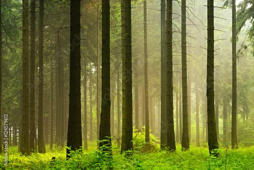 Unberührter nebliger naturnaher Fichtenwald im Gegenlicht