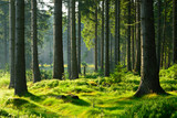 Niespotykany naturalny las świerkowy w ciepłym świetle porannego słońca