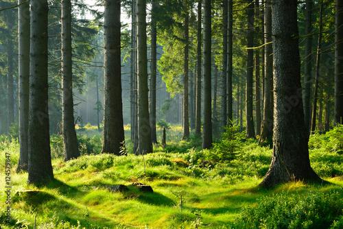Foto Murales Unberührter naturnaher Fichtenwald im warmen Licht der Morgensonne