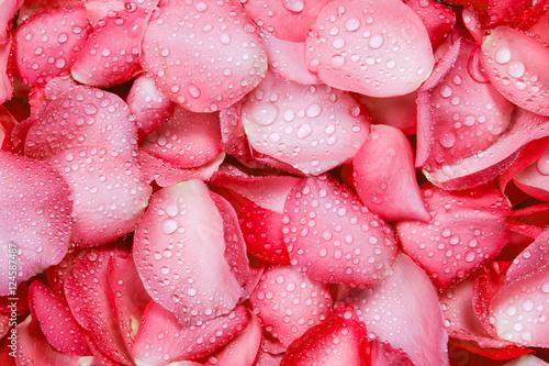 swiezy-czerwony-platek-rozy-tlo-z-kropli-deszczu-wody