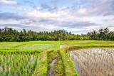 sundown at bali rice field, indonesia