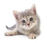 Mały szary kotek.