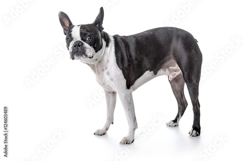 Deurstickers Franse bulldog Boston Terrier, standing in front of white background