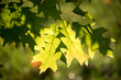 Autumn in Toronto: Light enhancing two green leaves in tree - Ca
