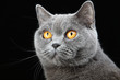 Постер, плакат: портрет британской кошки на черном фоне