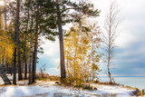 Autumn landscape with yellow birches and snow. Siberia, the coas