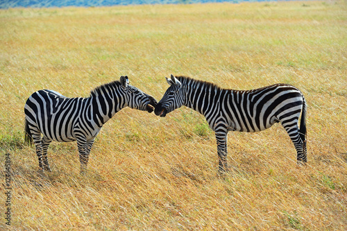 Zebra in the African savannah