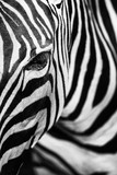 Monochromatic image of a the face of a Grevys zebra. Skin of an African zebra, zebra background, black and white stripes.