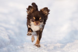 adorable brown chihuahua dog running in winter