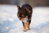 adorable brown chihuahua dog walking in winter