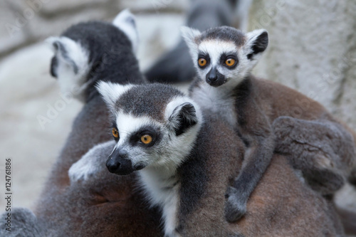 Foto op Canvas Aap Ring-tailed lemur (Lemur catta).