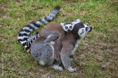 Foto op Canvas Aap Ring-tailed lemur (Lemur catta).