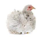 curly pekin chicken