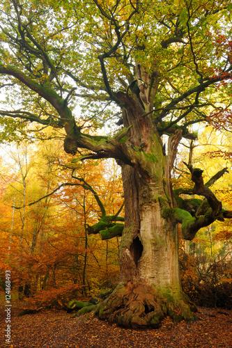 mighty-hollow-moss-objetych-oak-tree-w-jesiennej-lasu-leaves-zmiana-koloru
